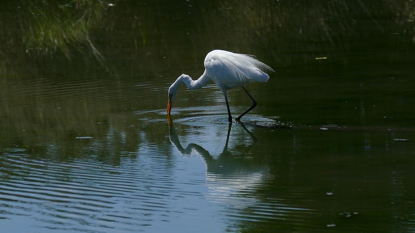 Great Egret (Image ID 35737)
