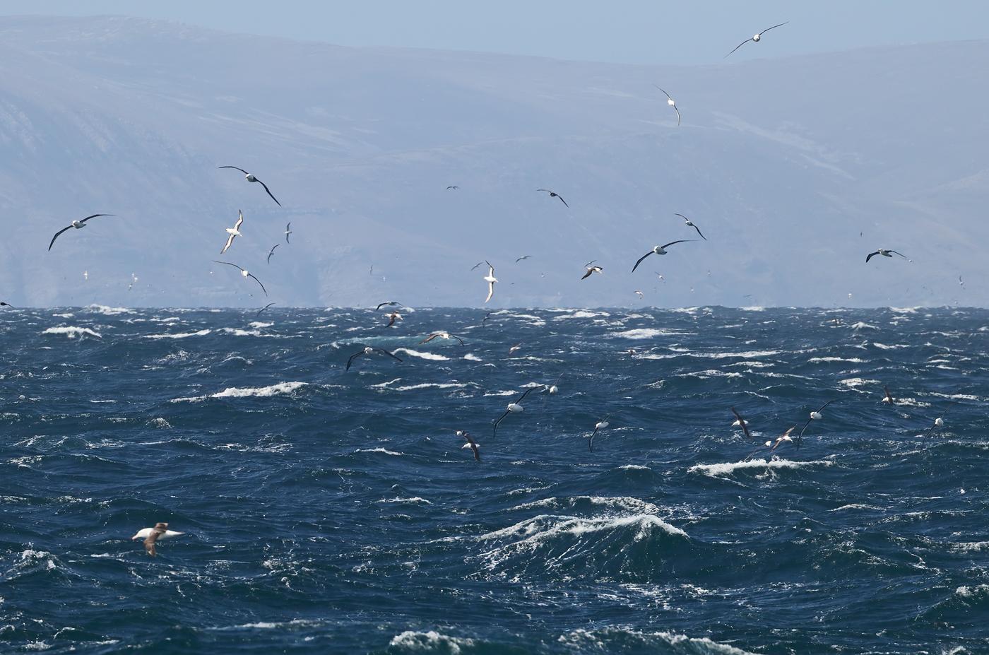 Black-browed Albatross (Image ID 35562)