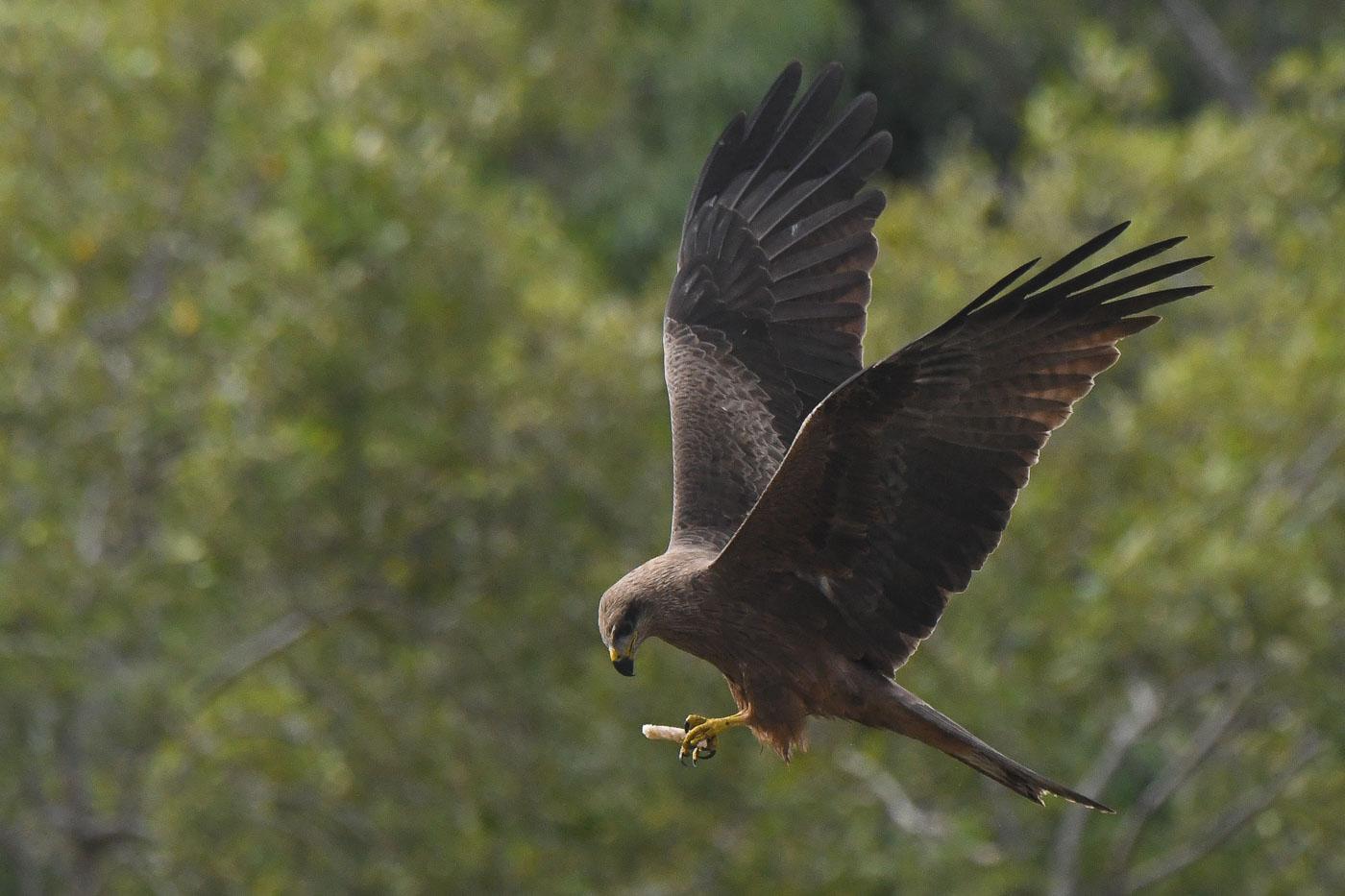 Black Kite (Image ID 35635)