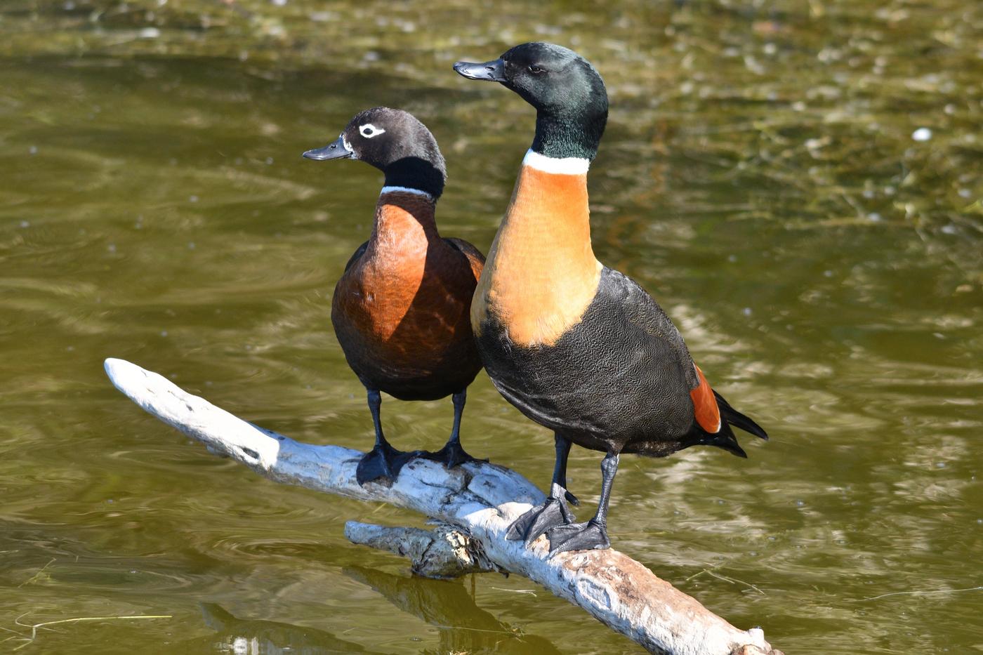 Australian Shelduck (Image ID 35642)