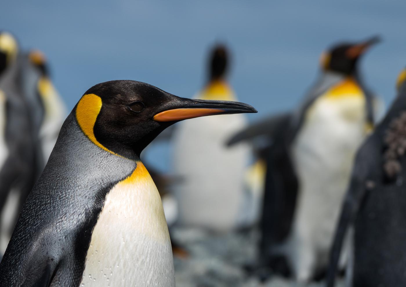 King Penguin (Image ID 35628)
