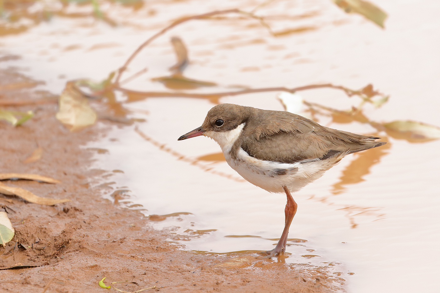 Red-kneed Dotterel (Image ID 35820)