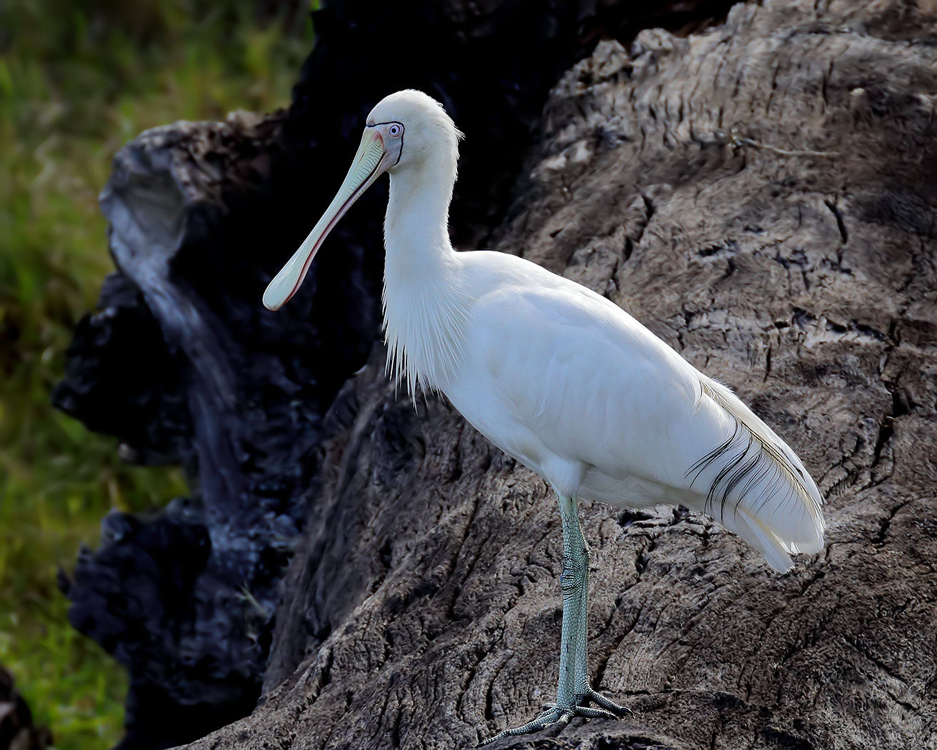 Yellow-billed Spoonbill (Image ID 35557)
