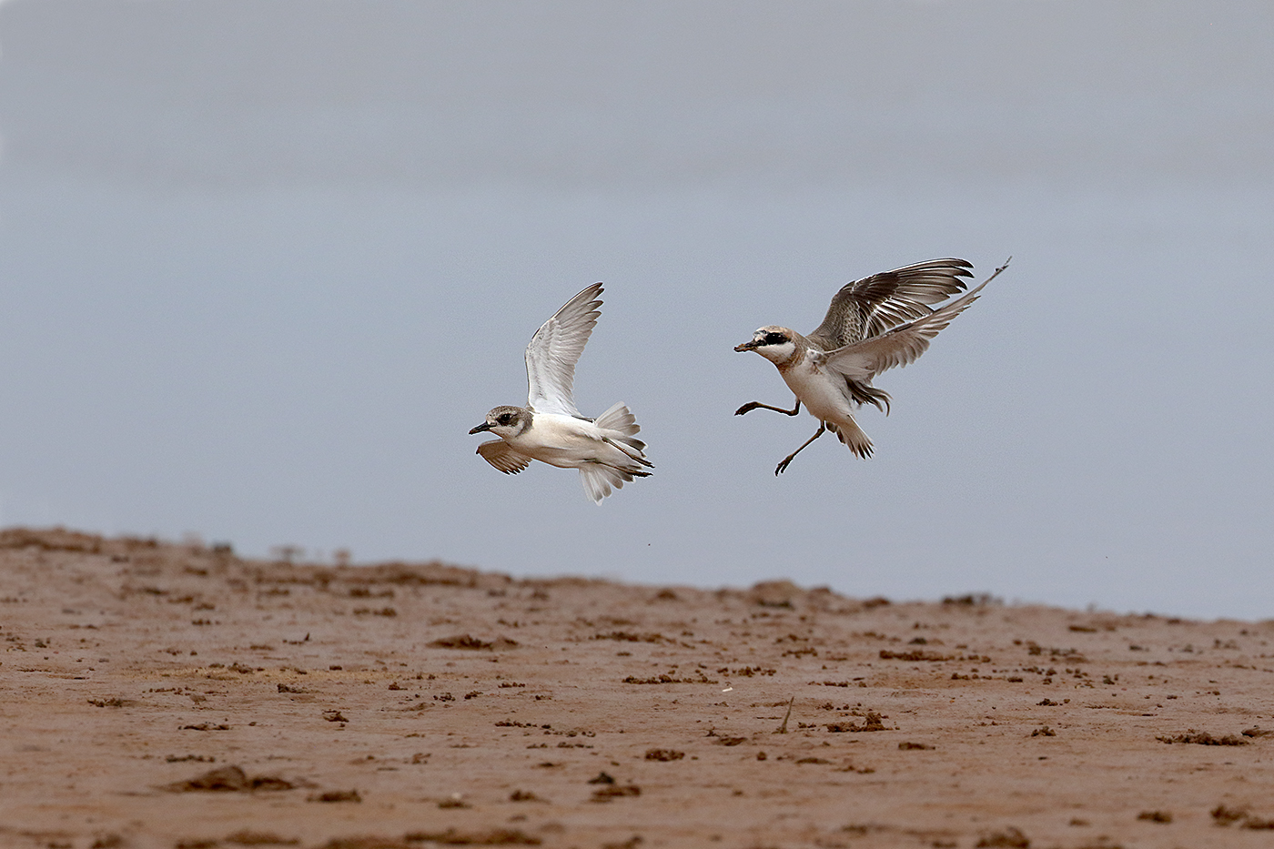 Greater Sand Plover (Image ID 35751)