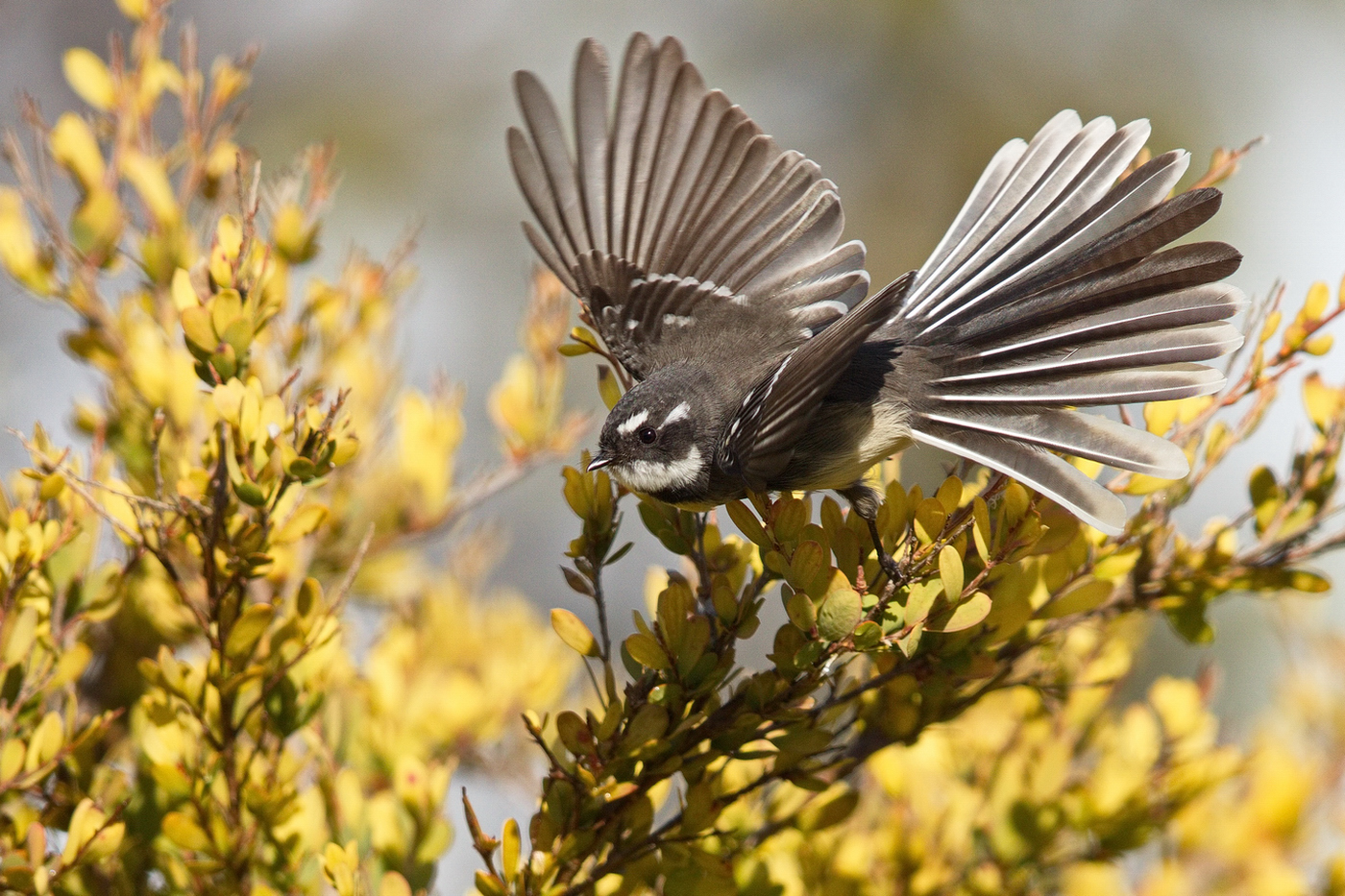 Grey Fantail (Image ID 35802)