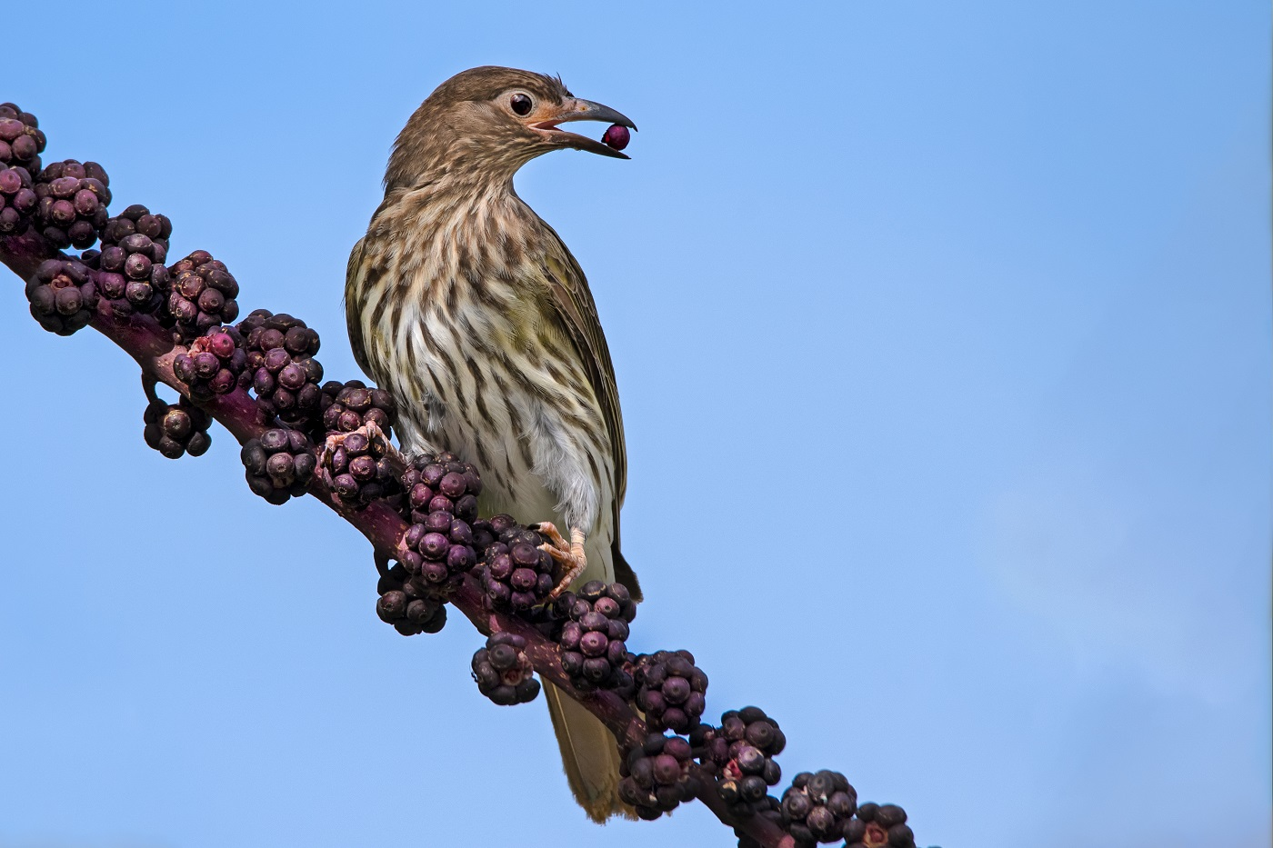Australasian Figbird (Image ID 35654)