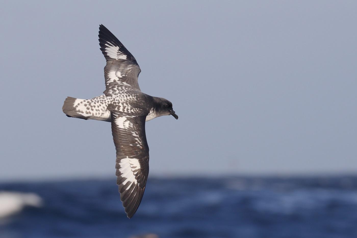 Cape Petrel (Image ID 35647)