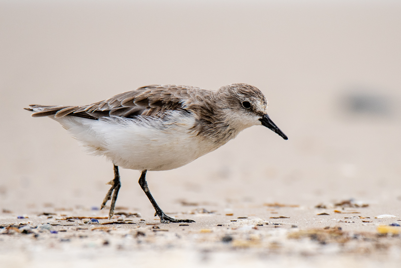 Red-necked Stint (Image ID 35664)