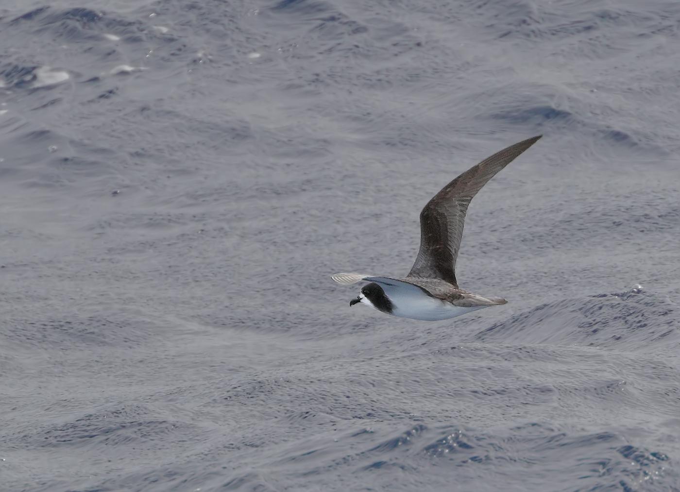 Gould's Petrel (Image ID 35810)