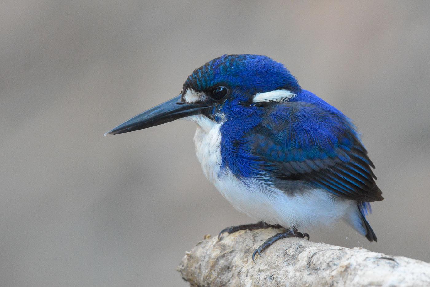 Little Kingfisher (Image ID 35707)