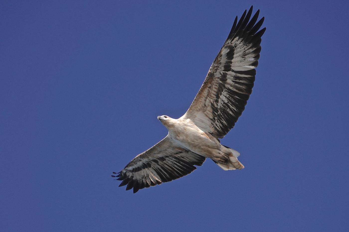 White-bellied Sea-Eagle (Image ID 35845)