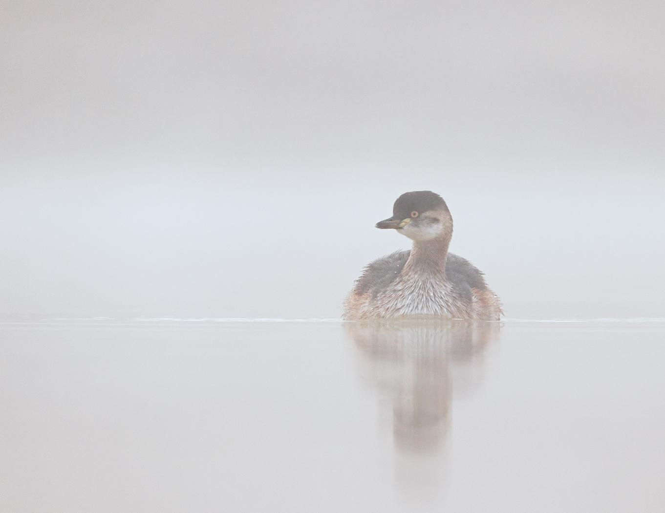 Australasian Grebe (Image ID 35886)