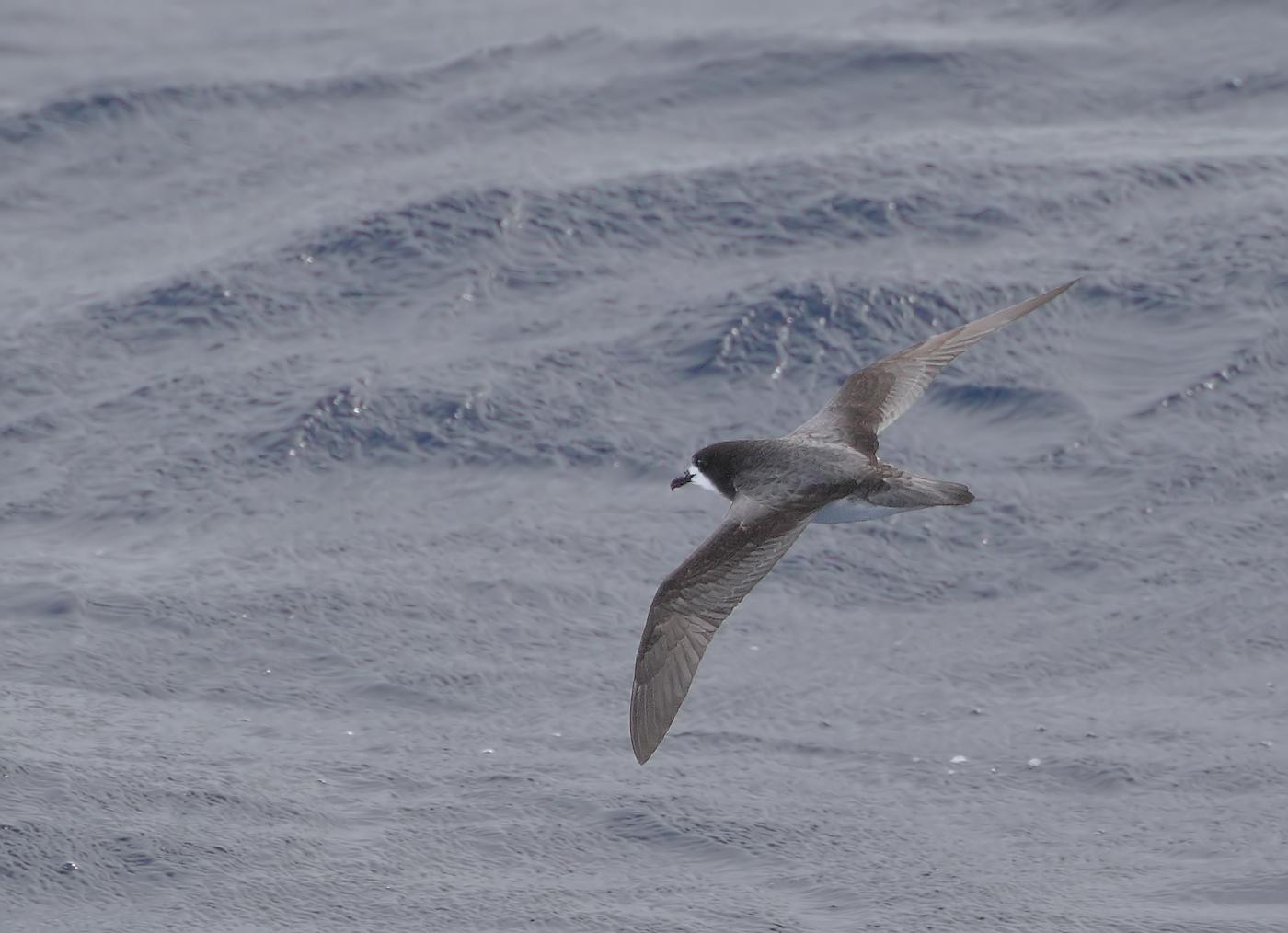 Gould's Petrel (Image ID 35811)