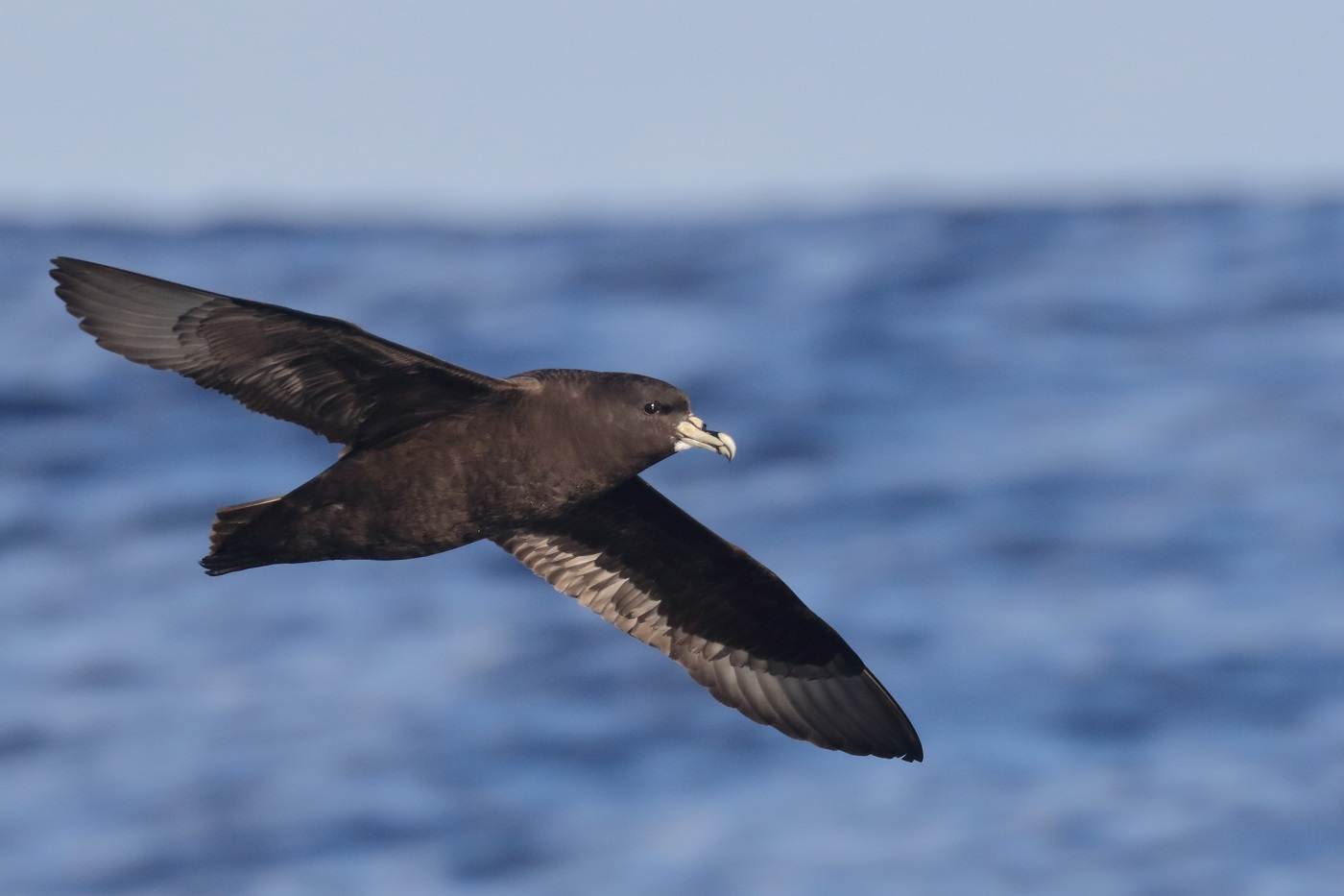 White-chinned Petrel (Image ID 35620)