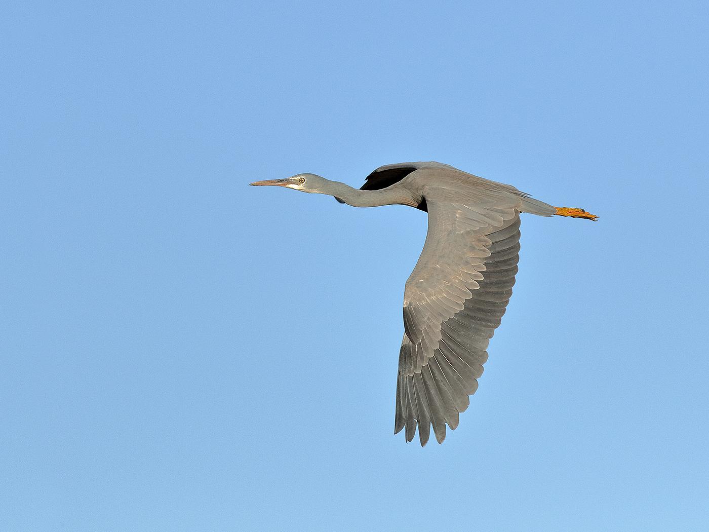 White-faced Heron (Image ID 35744)
