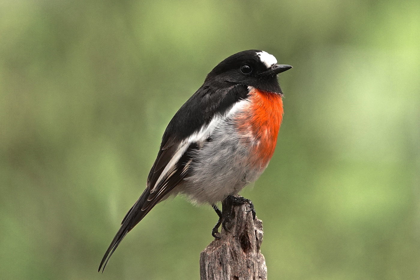Scarlet Robin (Image ID 35714)