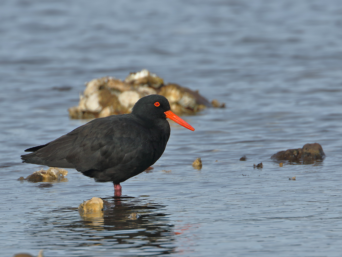 Sooty Oystercatcher (Image ID 35683)