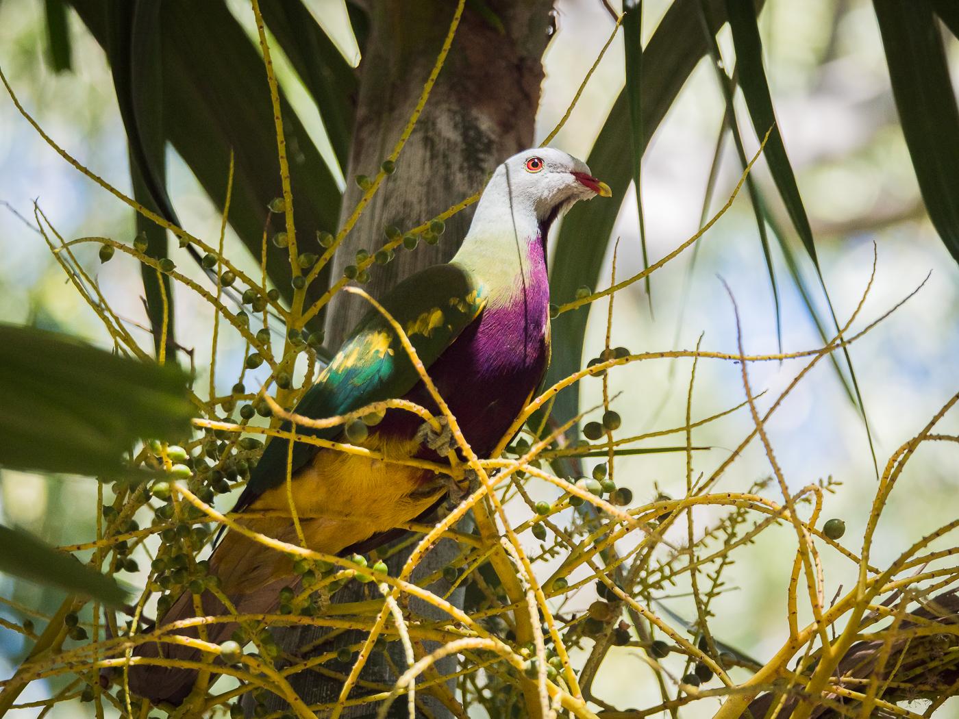 Wompoo Fruit-Dove (Image ID 35817)