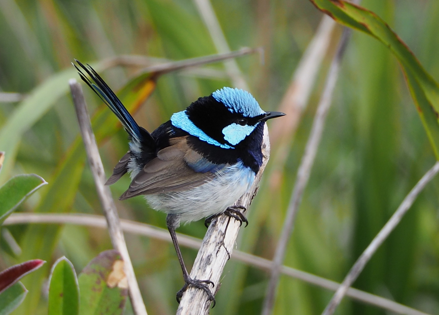 Superb Fairy-wren (Image ID 35804)