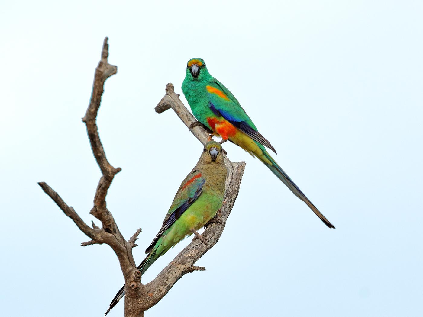 Mulga Parrot (Image ID 35753)