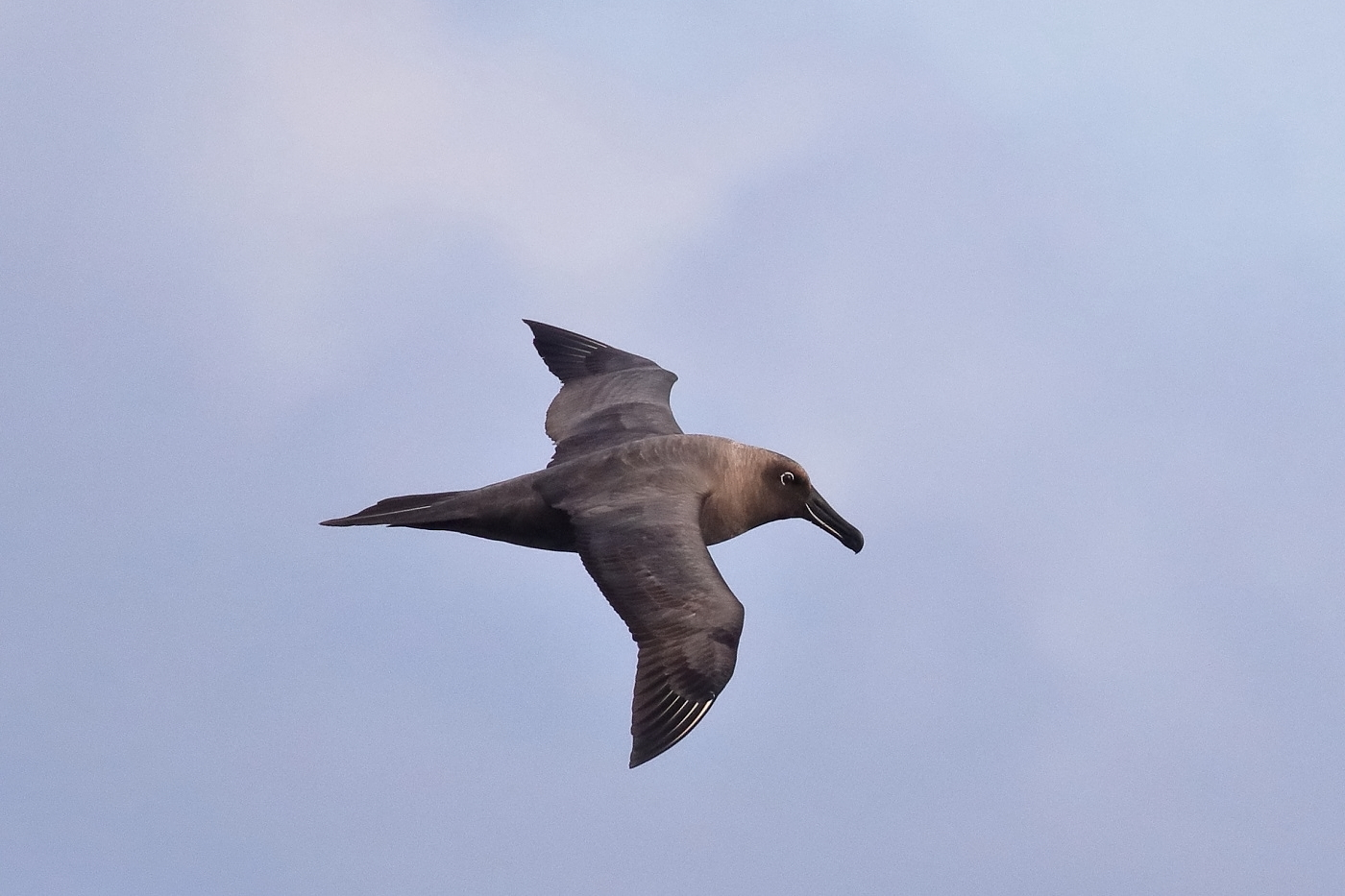 Sooty Albatross (Image ID 35617)