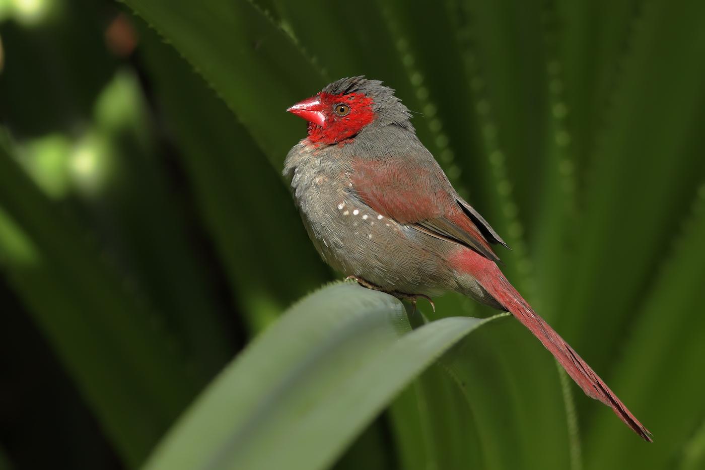 Crimson Finch complex (Image ID 35741)