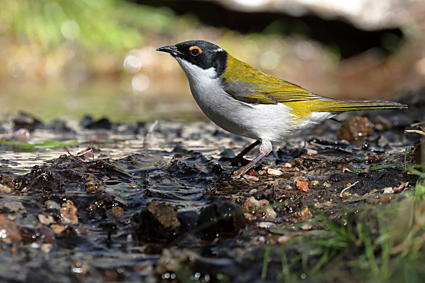 White-naped Honeyeater (Image ID 35866)