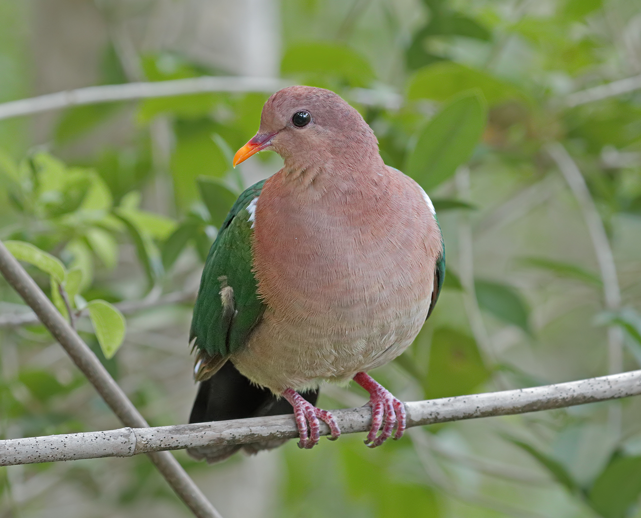 Brown-capped Emerald-Dove (Image ID 35850)
