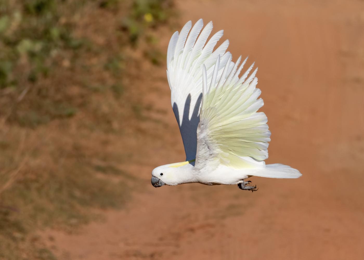 Sulphur-crested Cockatoo (Image ID 35720)