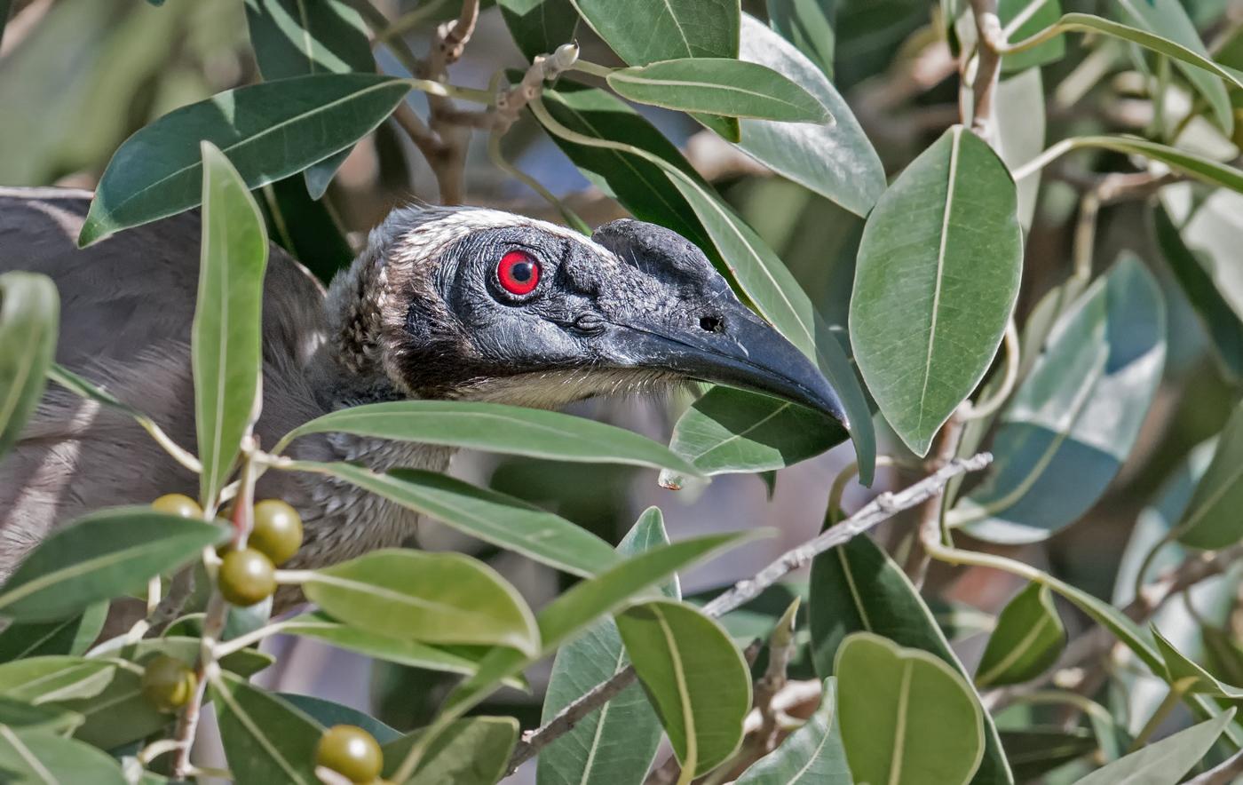 Helmeted Friarbird (Image ID 35785)