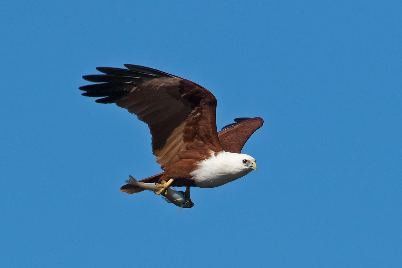 Brahminy Kite (Image ID 35704)