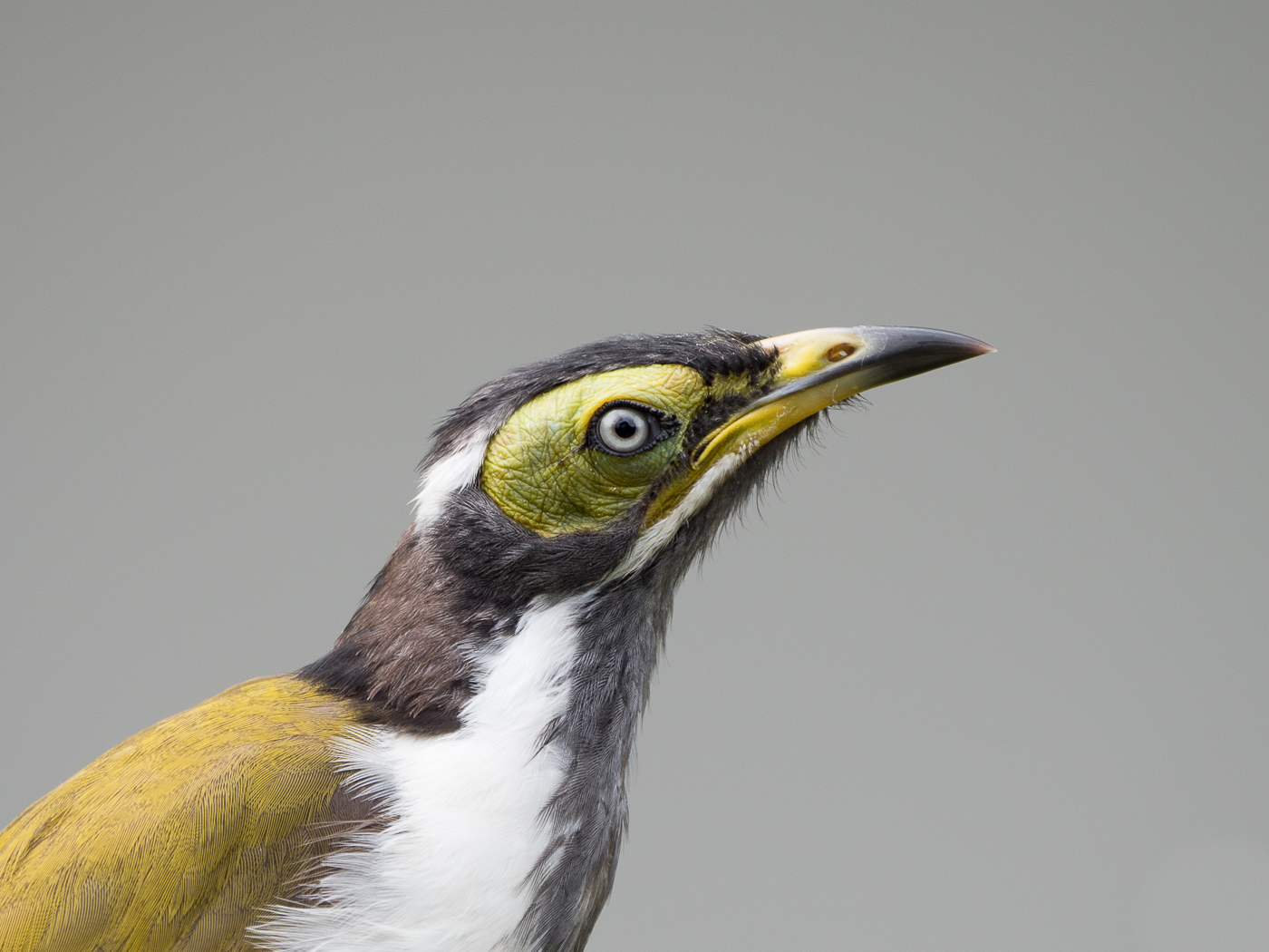 Blue-faced Honeyeater (Image ID 35830)
