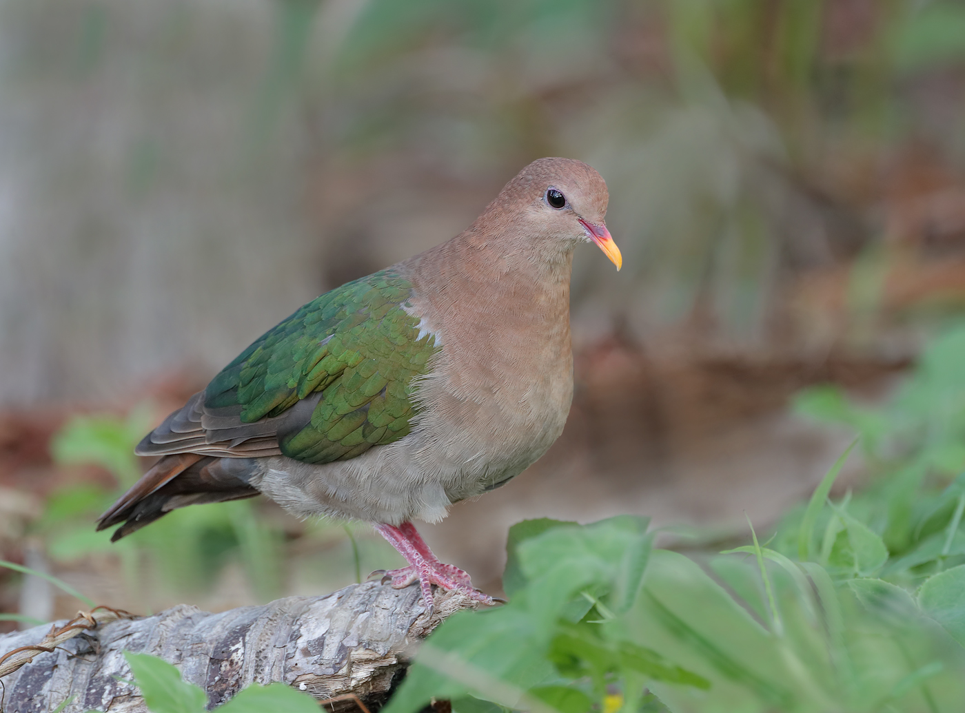 Brown-capped Emerald-Dove (Image ID 35560)