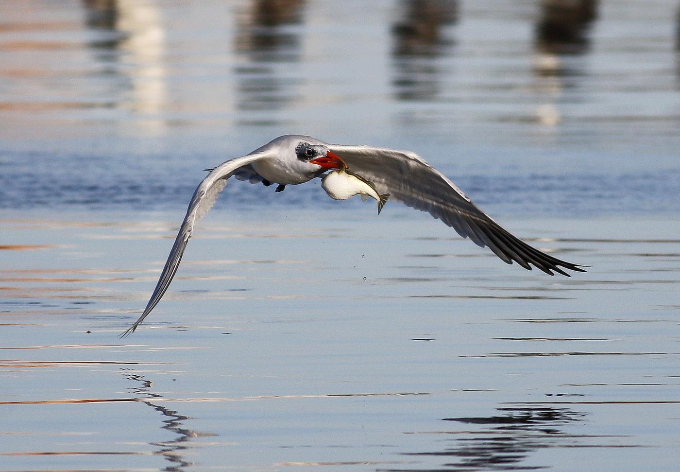 Caspian Tern (Image ID 35558)