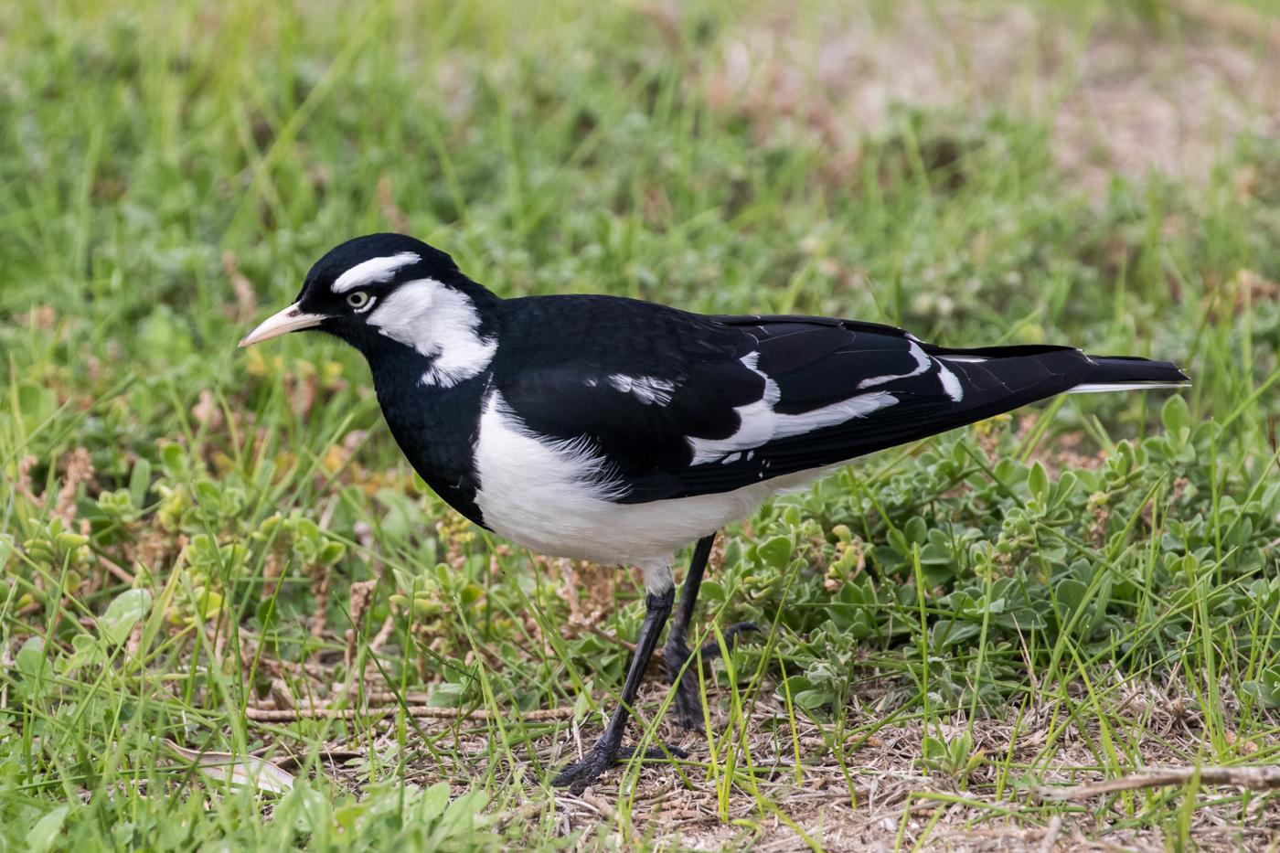 Magpie-lark (Image ID 35879)