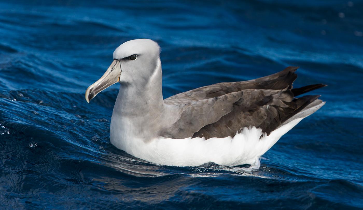 Salvin's Albatross (Image ID 35893)