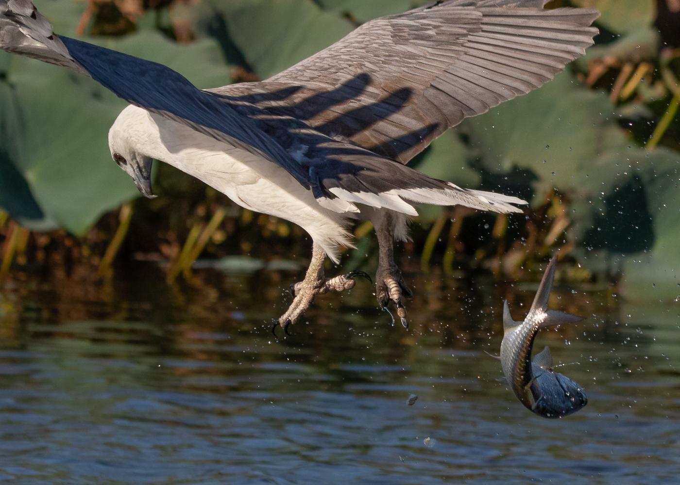 White-bellied Sea-Eagle (Image ID 35551)