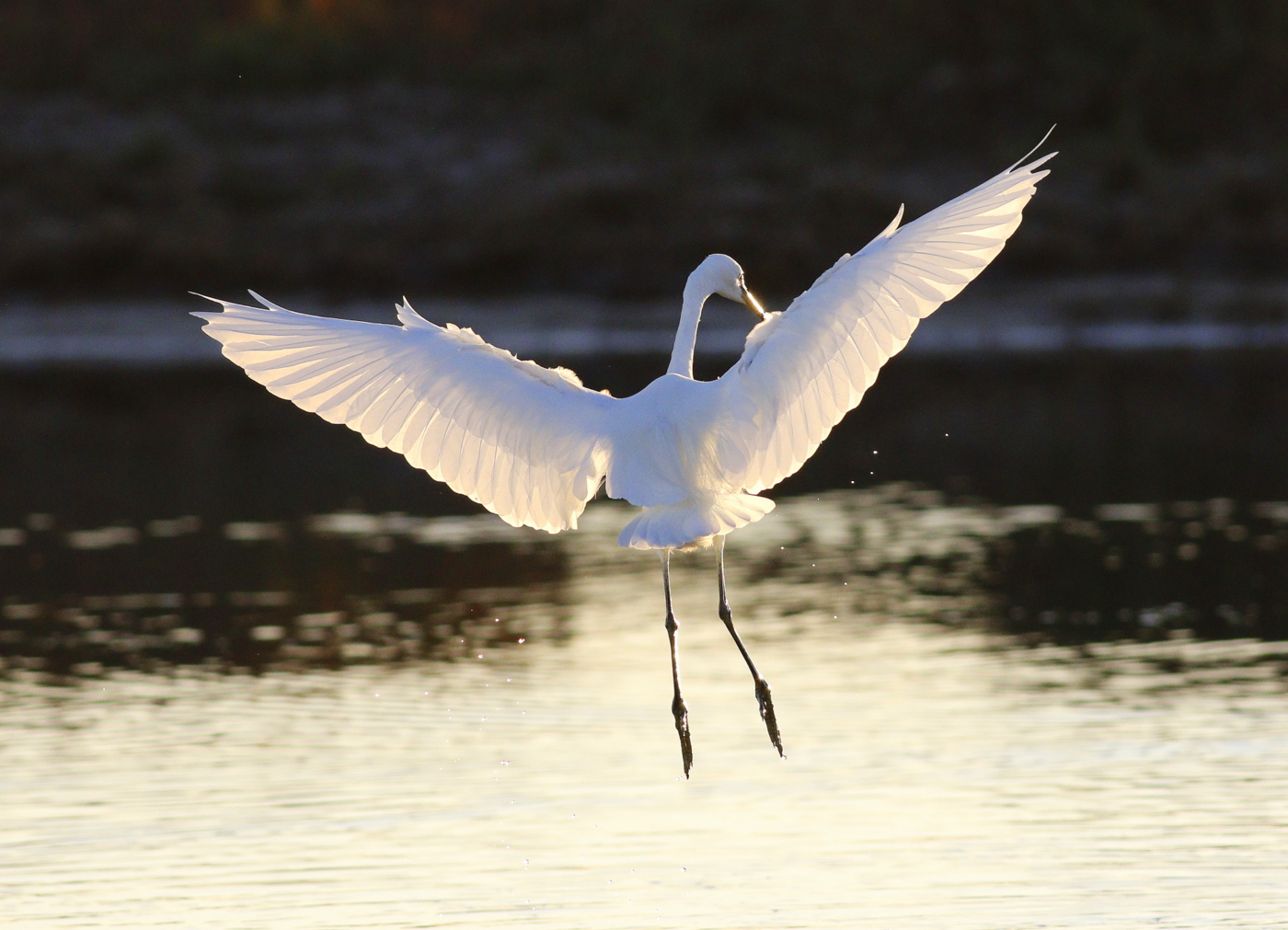 Little Egret (Image ID 35571)