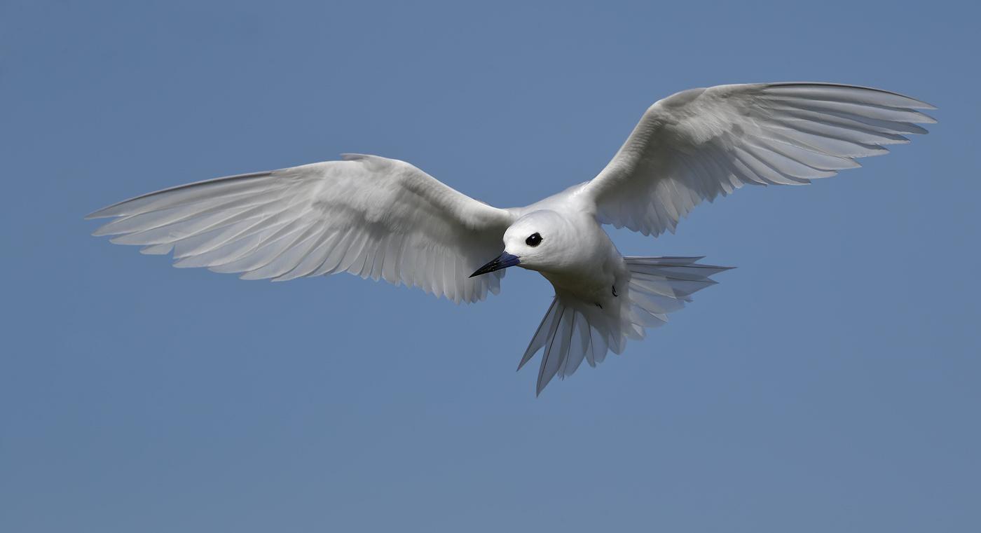 White Tern (Image ID 35590)