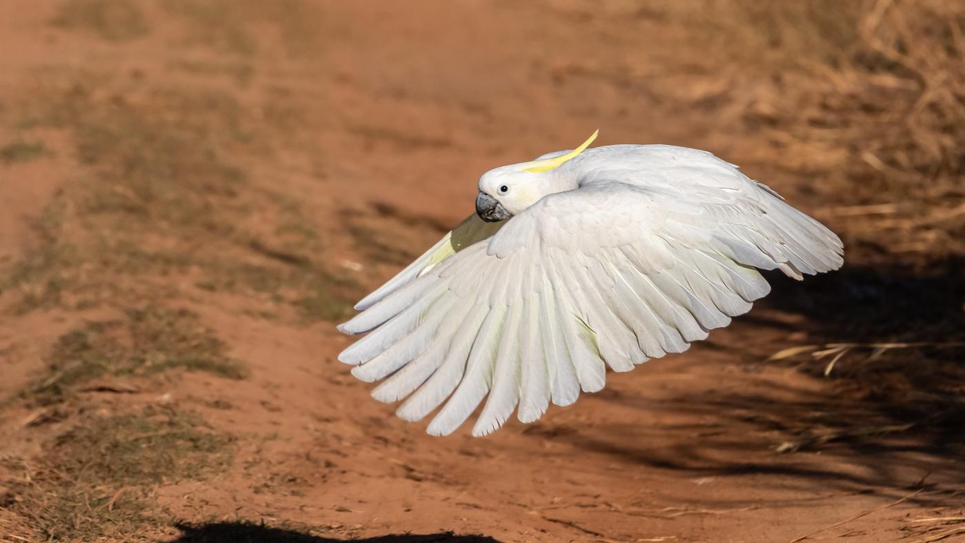 Sulphur-crested Cockatoo (Image ID 35719)