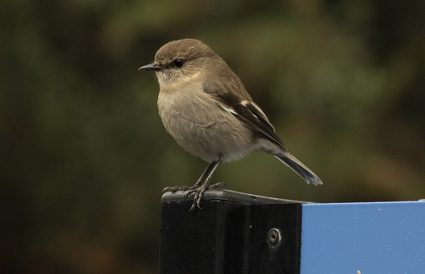 Dusky Robin (Image ID 35542)