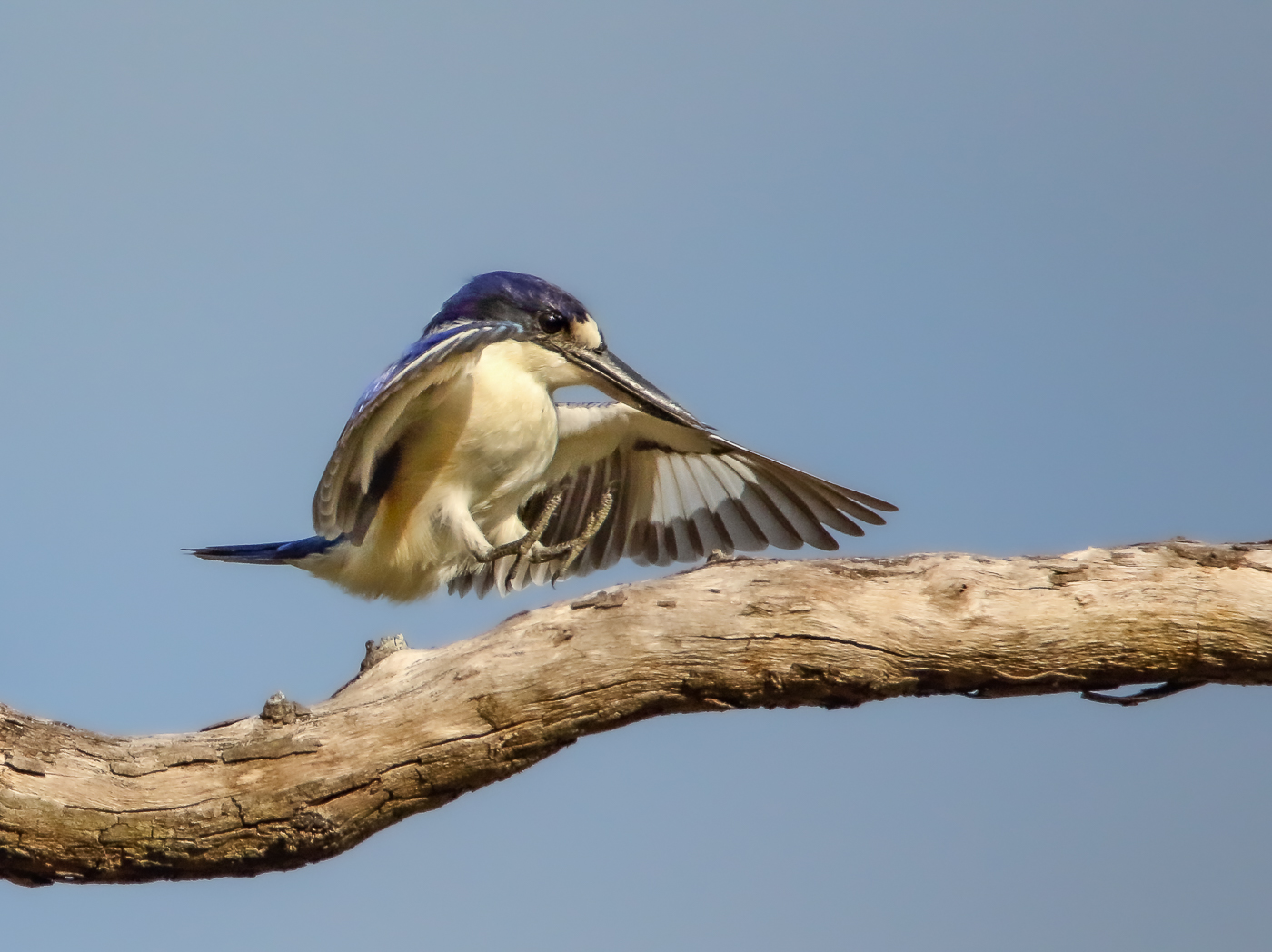 Forest Kingfisher (Image ID 35554)