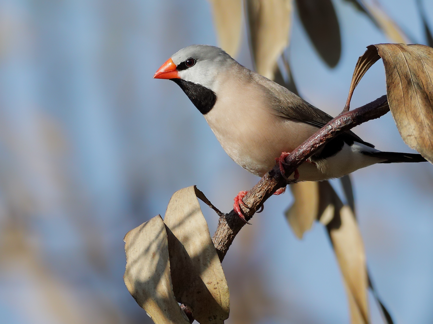 Long-tailed Finch (Image ID 35574)