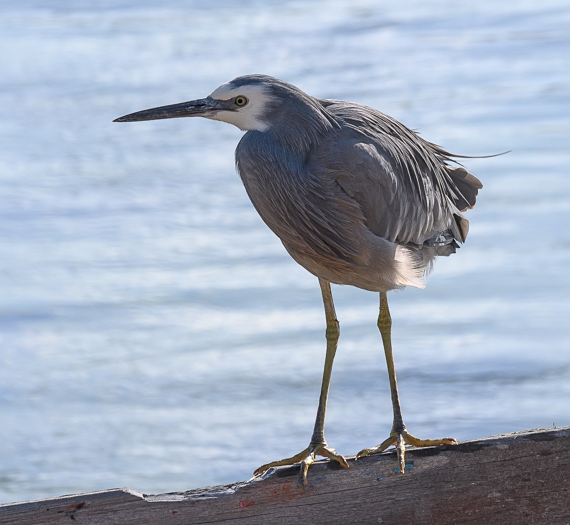 White-faced Heron (Image ID 35736)