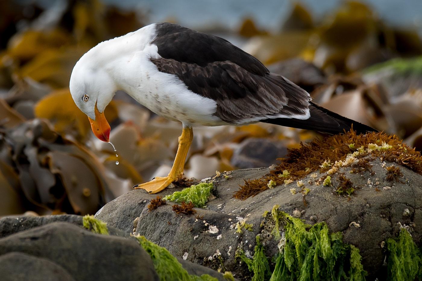 Pacific Gull (Image ID 35655)