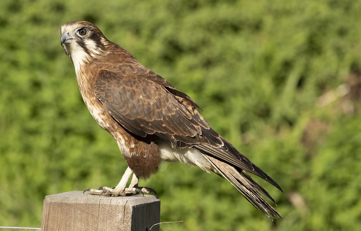 Brown Falcon (Image ID 35778)