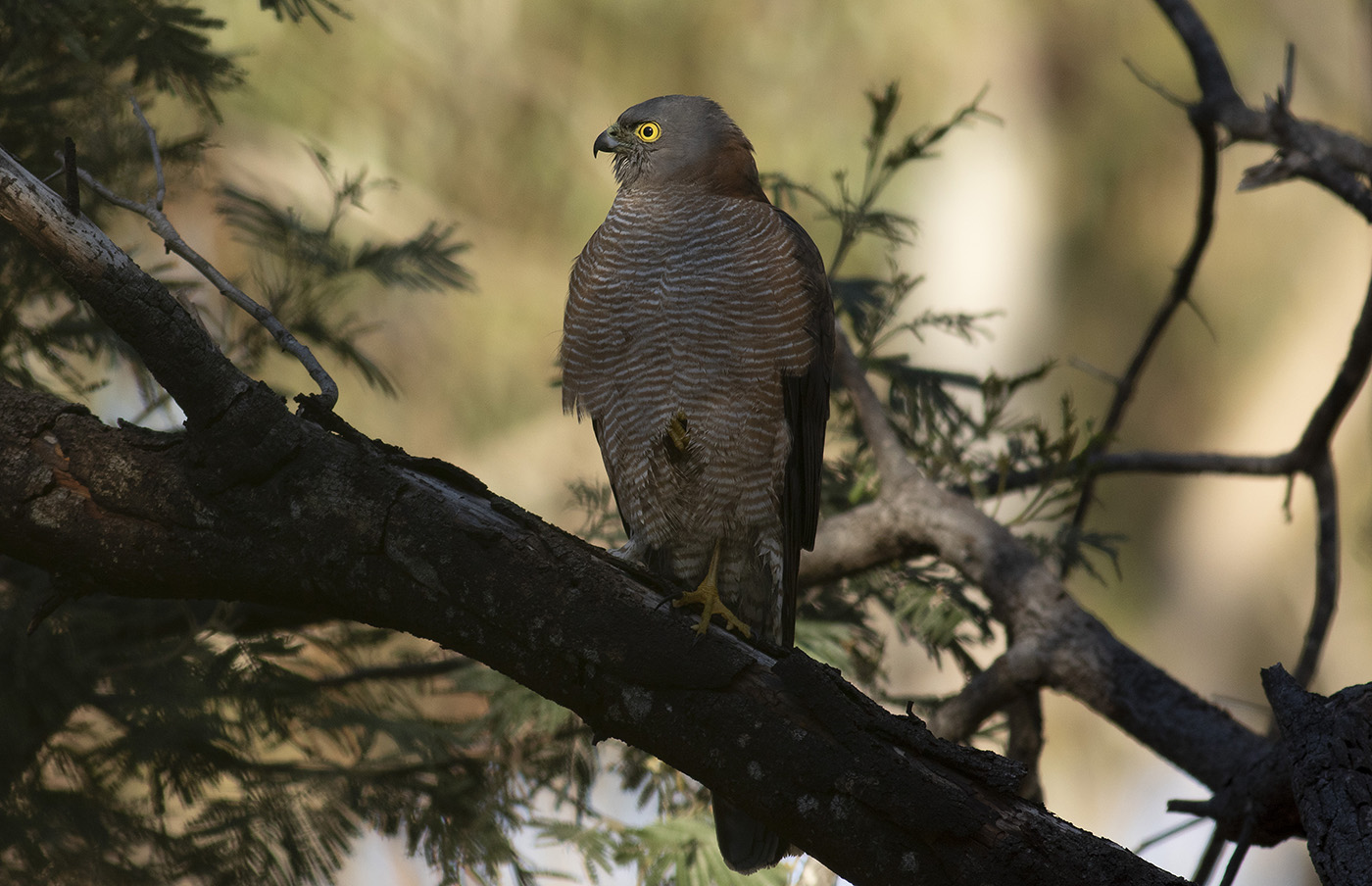 Collared Sparrowhawk (Image ID 35895)