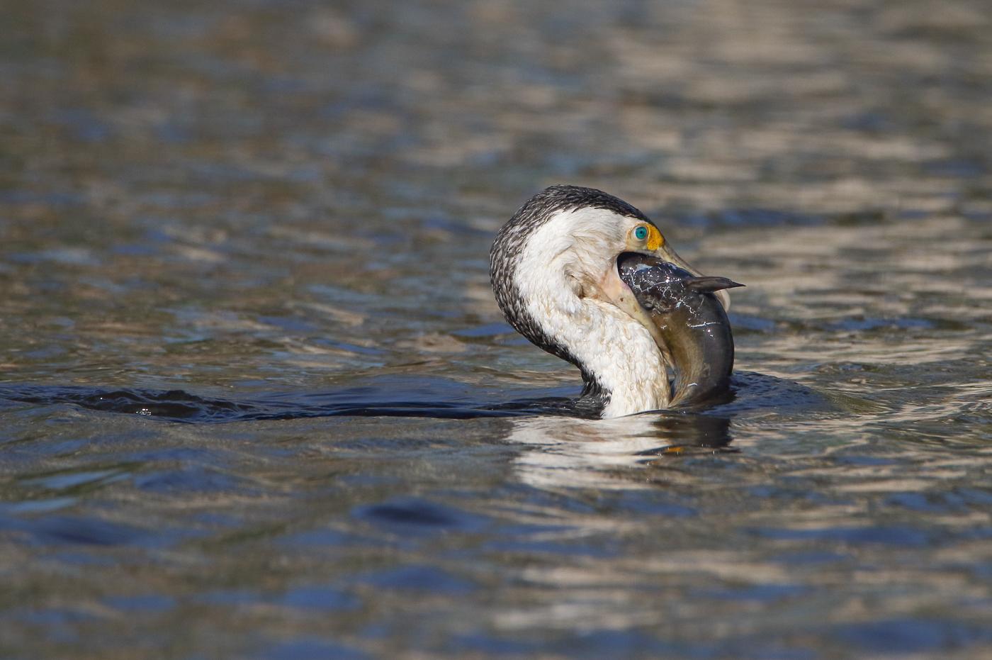 Pied Cormorant (Image ID 35556)