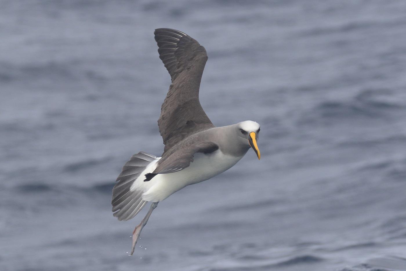 Buller's Albatross (Image ID 35645)