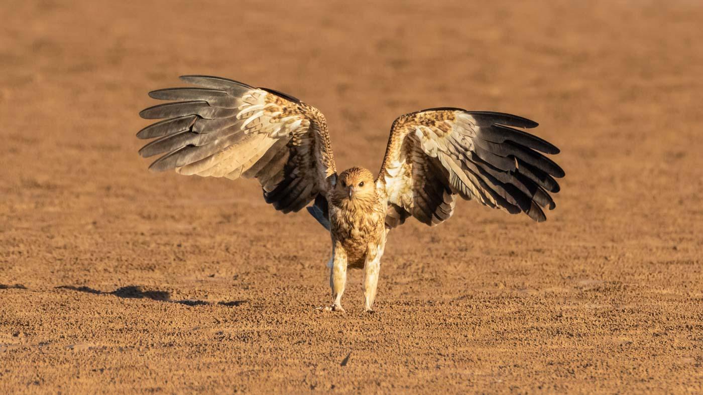 Whistling Kite (Image ID 35718)
